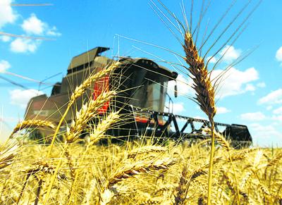 Argentina va hacia una siembra récord de trigo este año