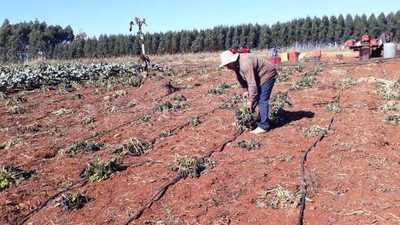 Helada destruyó el 50% de los cultivos hortícolas en Alto Paraná
