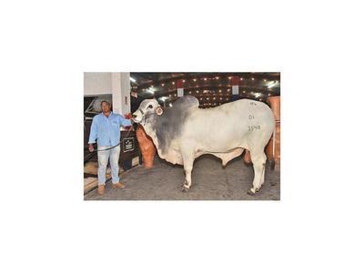 El animal más pesado es un Nelore de 1.075 kilos
