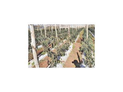 Itapúa: Heladas golpean a 120 productores hortícolas
