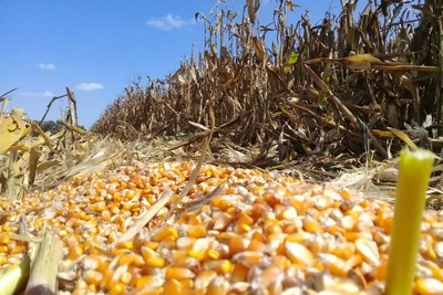 En Chicago, la «crisis de confianza» divorció los precios del maíz de las cifras del USDA