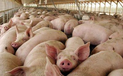 Rusia tranca las importaciones de cerdo de Brasil por la peste porcina