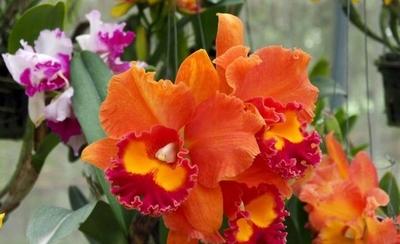Investigador paraguayo clonó una orquídea