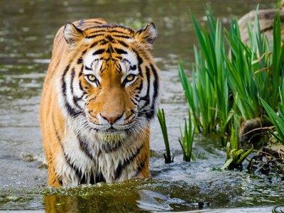 Día Internacional del Tigre entre rejas y con la amenaza de la extinción