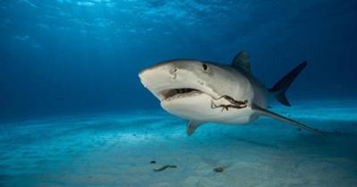 Aumentan los ataques de tiburones