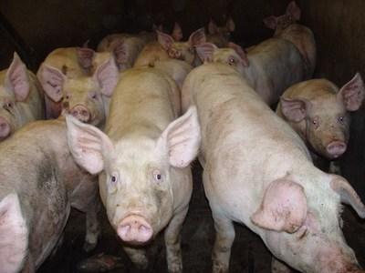 «El año pasado se faenaron 600 mil cabezas de cerdos, todo lo que se produce se vende»