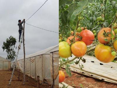 """Santa Rosa; ultiman detalles para la primera edición de la """"Expo Tomate"""""""
