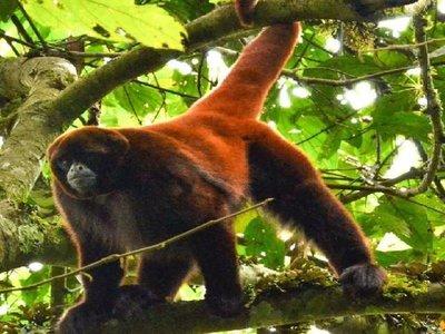 Perú ultima un plan para la protección de 15 especies de primates amenazados
