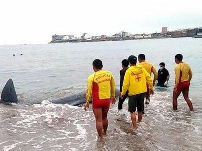 Una ballena bebé muere tras quedar varada en una playa de Perú