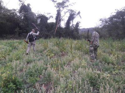 Destruyen cuatro hectáreas de Marihuana en Caaguazú