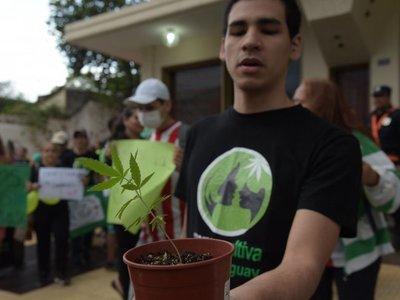 Plantean despenalizar cultivo del cannabis para uso medicinal