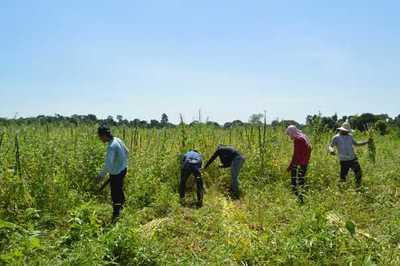 Con apoyo de Itaipu, productores obtuvieron más de US$ 2,3 millones en zafra sesamera