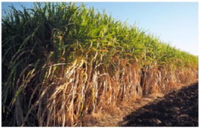 Azúcar sin aranceles podría llegar a Taiwán