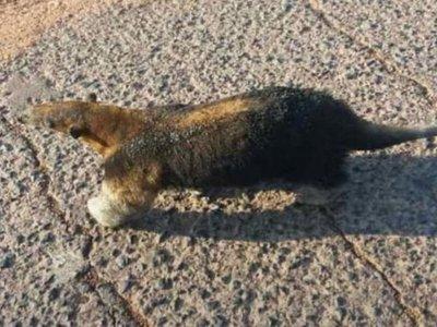 Animales silvestres sufren a causa del fuego en el Chaco