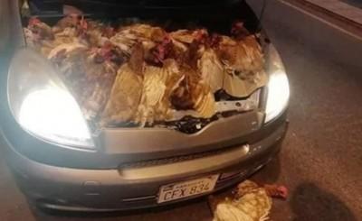 Ocultan gallinas dentro del capó de un vehículo para ingresar al país