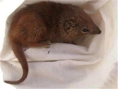 Kaluta, el marsupial australiano que muere tras el apareamiento
