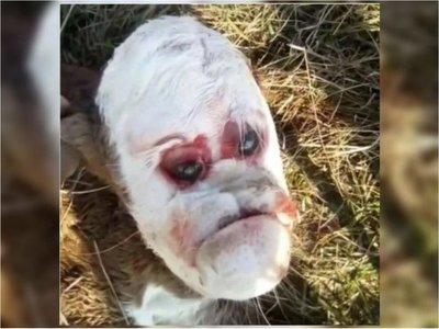 Sustazo: nació  un ternerito con la cara humana