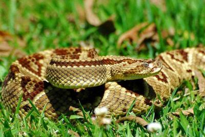 """Setiembre con """"s"""" de serpiente: recomendaciones ante riesgos de mordeduras"""