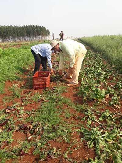 Productores hortícolas del Alto Paraná estiman pérdidas del 50% por la sequía