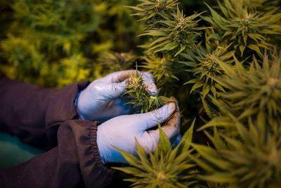 Senado da media sanción al proyecto de ley para el cultivo, uso y consumo medicinal de marihuana