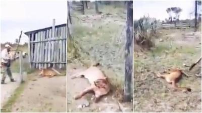 HOY / Mató a palazos a un puma que huía de incendio y se expone a multa de G. 1.600 millones