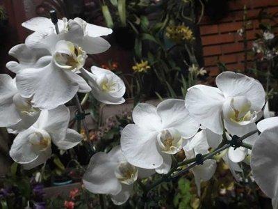El boom de las orquídeas: Cada vez más las cultivan y hasta una empresa Taiwanesa se instalará en el país