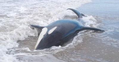 Siete orcas encallaron Buenos Aires