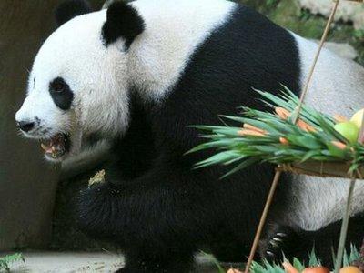 Muere Chuang Chuang, el oso panda embajador de China en Tailandia