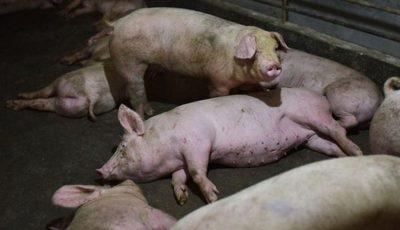 Corea del Sur reportó el primer caso de fiebre porcina africana