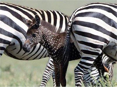 Cría de cebra nace de color marrón y con lunares en Kenia