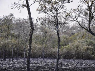 Del yaguarete al oso hormiguero, especies amenazadas por incendios