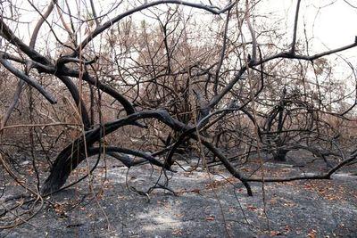 Del yaguareté al oso hormiguero, especies amenazadas por el fuego en Paraguay
