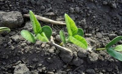 Se mantiene la incertidumbre en el sector sojero por la sequía