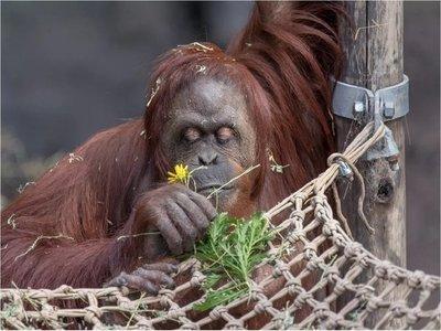 "Orangutana declarada ""persona no humana"" comienza nueva vida"