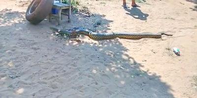 Hallan una serpiente de 7 metros en una chacra