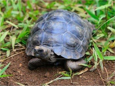 Devuelven a su hábitat natural a 309 tortugas gigantes