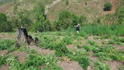 Caaguazú: Fiscalía inició el operativo Caaguazú Potĩ'i para la erradicación de cultivos de Marihuana