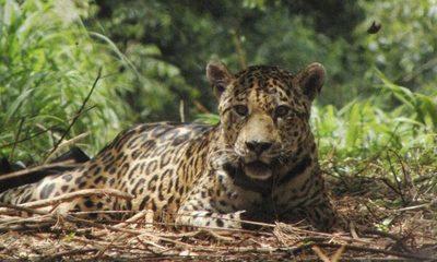 Top 10 animales en peligro de extinción en Paraguay