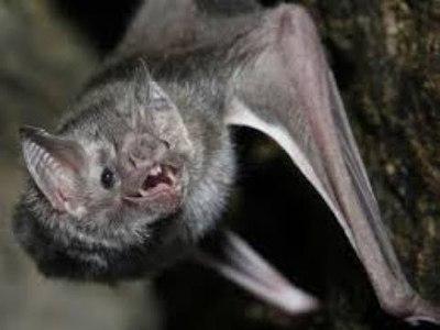 Murciélago con rabia, mordió a estudiante
