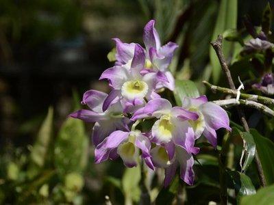 Taiwán tratará de ampliar en Paraguay la industria de la orquídea