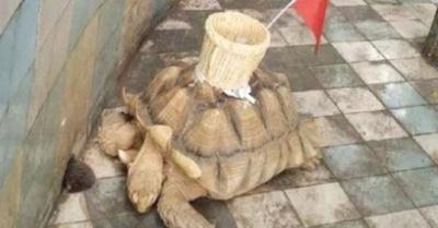 Ma'êna la tortuga pidiendo limosna