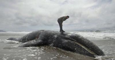 Heroísmo y tragedia con la muerte de ballenas