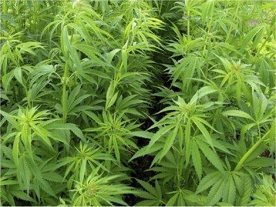 Gobierno decreta cultivo de cáñamo para 2020