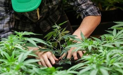 HOY / Gobierno autoriza cultivo de variedad no psicoactiva del cannabis a partir del 2020