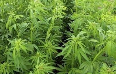 Gobierno incluye el cultivo del cáñamo en la agricultura familiar campesina