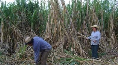 Plan nacional de caña de azúcar prevé crear 30.000 puestos de trabajo por año