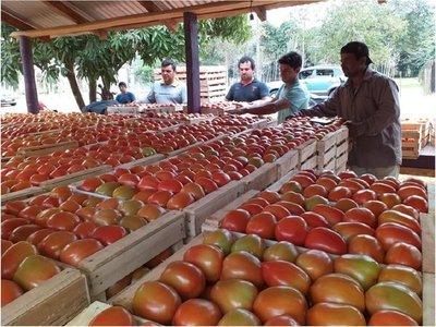 Gran feria de tomates a G. 3.500 el kilo