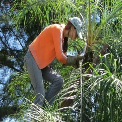 Científicos identificaron principales plagas que afectan al cocotero