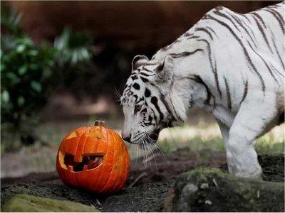 Animales del zoológico de Guatemala celebran Halloween