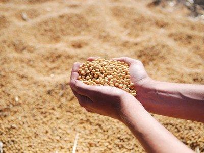 MAG libera comercialización de  soja resistente a  sequía